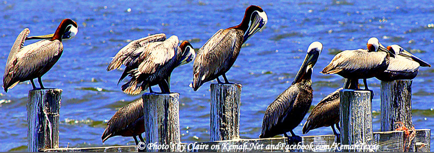 Galveston Bay Pelicans